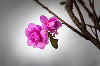 Two pink blooms on the branch of a  bonsai tree.