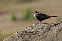 A Male Ring Ouzel pauses on a gritstone boulder, Burbage Valley, Peak District, UK