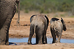 Baby elephants, Loxodonta africana, at waterhole in Addo National Park, Eastern Cape, South Africa