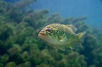 Ozark Bass, Underwater