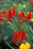 The fecund bloom of unusual flower Crocosmia Lucifer highlighted by yellow coronation gold.
