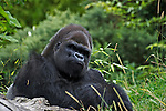 Wildlife photography, silverback gorilla