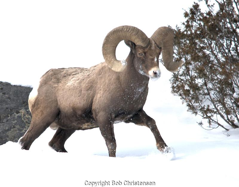 Bighorn Ram Bob Christensen Photography