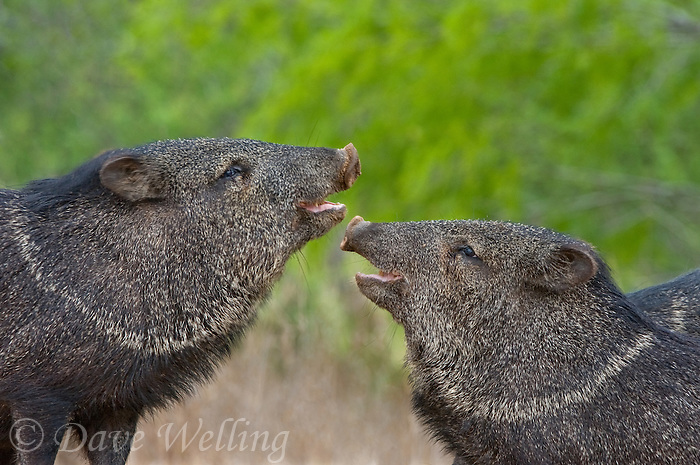 650520267 two wild boar javelinas or collared peccaries dicolytes tajacu threat posture on santa clara ranch hidalgo county rio grande valley texas united states