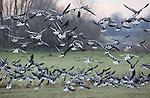 Foto: VidiPhoto<br /> <br /> SLIJK-EWIJK - Grauwe ganzen genieten van het sappige gras in de uiterwaarden bij Slijk-Ewijk in de Betuwe. Over enkele maanden moeten hier weer koeien grazen, maar ondertussen zorgen deze wintergasten voor enorme schade voor het agrarisch bedrijfsleven. Zo'n 2,5 miljoen ganzen verblijven iedere winter in ons land. Ze vertrappen het gras of trekken dat met wortel en al uit de grond. Door de enorme hoeveelheid mestdie ze achterlaten kan het gras later ook nauwelijks meer gebruikt worden als veevoer.
