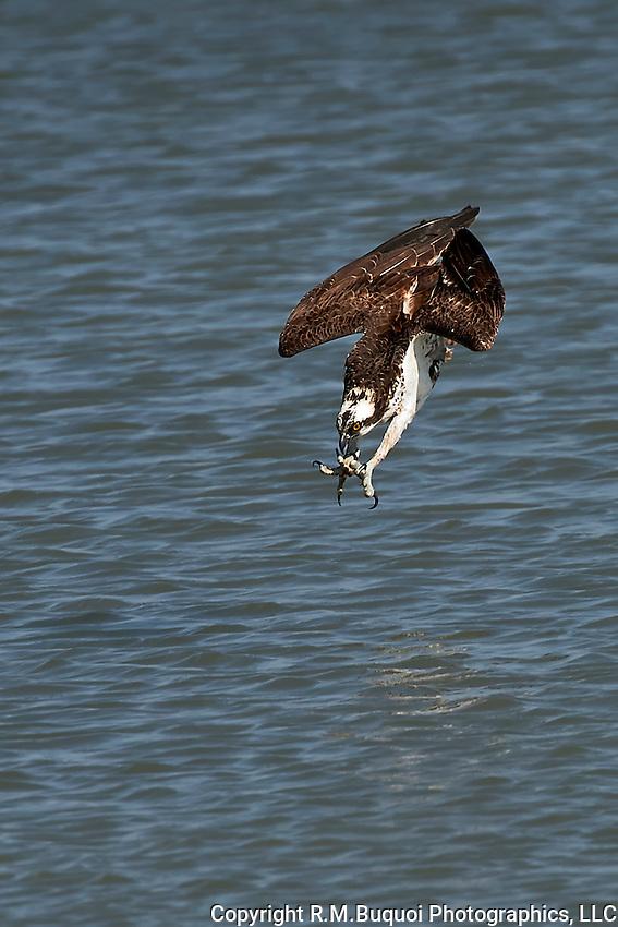 Osprey in a dive