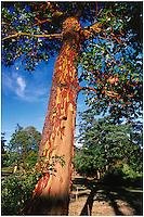 Peeling orange bark of Arbutus menziesii tree in park along the Gorge waterfront, Victoria, BC.