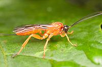 Ichneumon Wasp (Theronia hilaris) - Female, West Harrison, Westchester County, New York