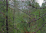 branches of pine trees covered with raindrops in front of a steep hill in the foothills of the Cascade mountains