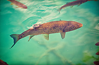 Carp in the Plitvice ( Plitvika ) Lakes National Park, Croatia. A UNESCO World Heritage Site