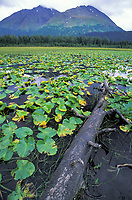 Lily pads along a lake shore, Kenai mountains, Kenai Peninsula, Alaska