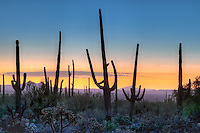 Saguaro cactus in a national park, Saguaro National Park, Arizona, USA (Carnegiea gigantea), sunset