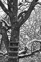 "As the snow falls in Central Texas, it becomes a ""Chilly Proposition"" to climb this oak.."