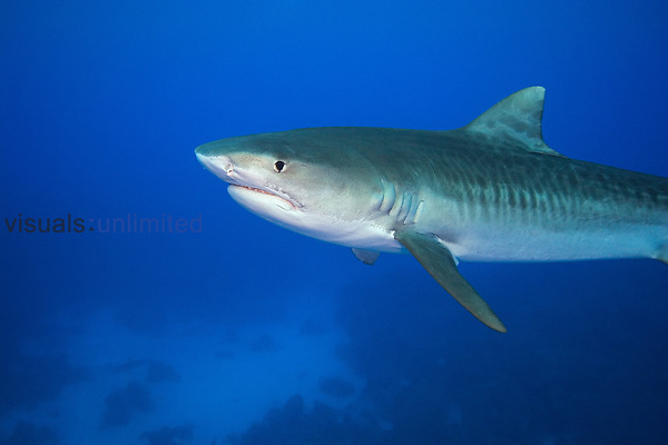 Tiger Shark, Galeocerdo cuvier, West End, Grand Bahama, Bahamas, Atlantic Ocean.