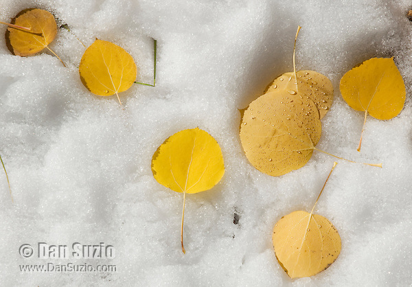 Quaking aspen leaves in snow, Populus tremuloides. Hope Valley, Sierra Nevada Mountains, California