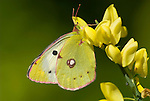 Clouded Yellow butterfly, Colias croceus, male, resting on broom yellow flowers in garden, found Southern Europe, Migrant to UK.Europe....