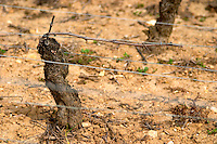 pinot noir guyot simple training old vine sandy soil clos st louis fixin cote de nuits burgundy france