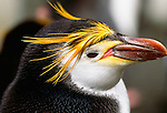 Royal penguin, Macquarie Island, Australia