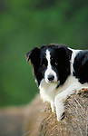 Border Collie<br />