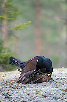 23.04.2009.Capercaillie (Tetrao urogallus) mating. Displaying in the forest surrounded by females. Courting. Lekking behaviour..Bergslagen, Sweden.