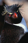 Rockhopper penguin, Falkland Islands