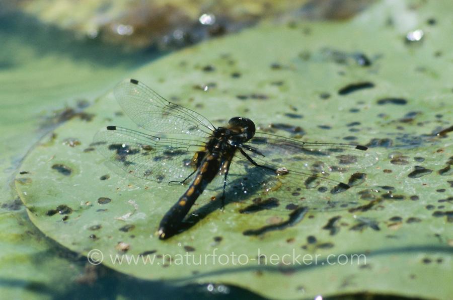 Zierliche Moosjungfer, Weibchen, Leucorrhinia caudalis, lilypad whiteface, female, la Leucorrhine à large queue
