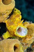 Longlure frogfish, Antennarius multiocellatus., Bonaire