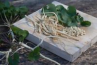 Gewöhnliche Knoblauchsrauke, Ernte, ernten, Kräuterernte, Wurzel, Wurzeln, Knoblauchsrauken-Wurzeln, Knoblauchsrauken-Wurzel, Knoblauchsraukenwurzeln, Knoblauchrauke, Knoblauch-Rauke, Knoblauchs-Rauke, Lauchkraut, Alliaria petiolata, Hedge Garlic, Jack-by-the-Hedge, root, roots, Alliaire