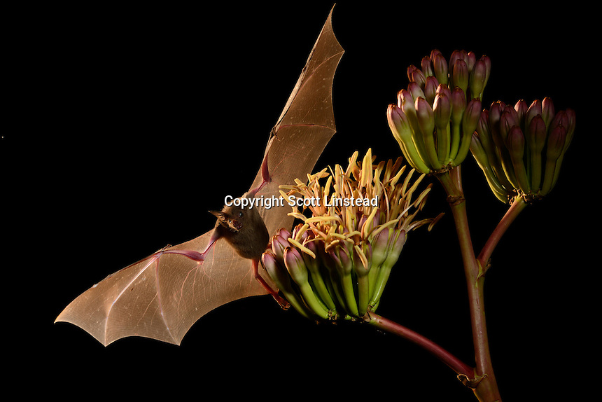 A lesser long nosed bat extracts nexctar from an agave plant.