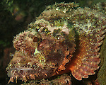 Kenting, Taiwan -- A scorpionfish, patiently waiting for prey to swim by and be sucked in.<br />