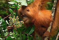 Borneo Orangutan (Pongo pygmaeus), eating fruits, Camp Leaky, Tanjung Puting National Park, Kalimantan, Borneo, Indonesia