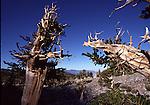 Ancient Bristlecone Pine Trees at Great Basin NP