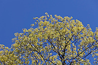 Norway Maple (Acer platanoides) in flower