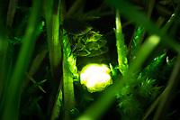 Glow worm female (Lampyris noctiluca) displaying in grass. Surrey, UK.