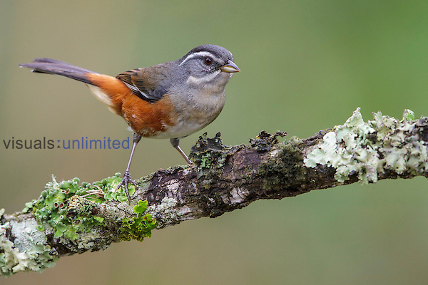 Gray-throated Warbling-Finch (Poospiza cabanisi), Southeast Brazil.