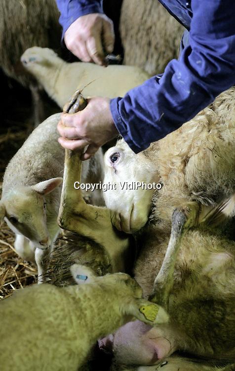 Foto: VidiPhoto..EDE - Tientallen lammetjes kijken toe als schaapherder Aart van de Brandhof in de Kreelse Kooi de poten van ooien kapt. Eenmaal per jaar hebben de schapen een flinke pedicure nodig. Van de Brandhof, schaapherder van de kudde op de Edse hei, gebruikt de lammertijd daarvoor omdat dan alle schapen in de kooi verblijven. Inmiddels heeft de kudde van Aart 168 lammeren, waaronder relatief veel tweelingen. Zijn broer Henk, schaapherder van 1 km verder gelegen schaapskudde op de Ginkelse hei, heeft er nu 145.