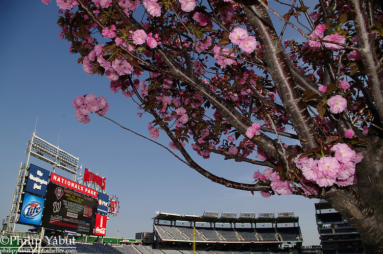 The cherry trees in Nationals Park's Centerfield Plaza are in bloom.