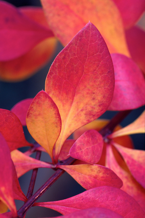 Close-up of Japanese Barberry leaves in autumn, in the Sino-Himalayan section of Van Dusen Botanical Garden, Vancouver, BC
