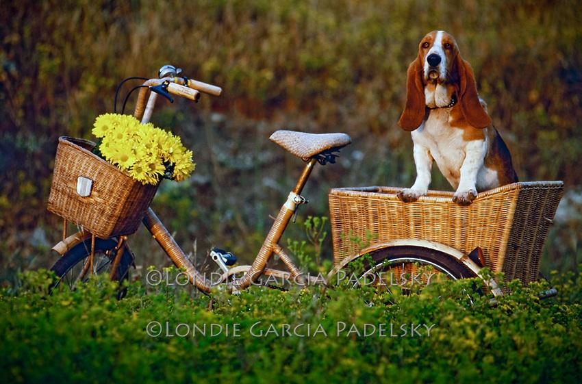 Basset Hound In Bicycle Basket Londie Garcia Padelsky