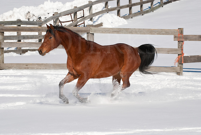 Picture of Arabian horse running across snowy paddock.