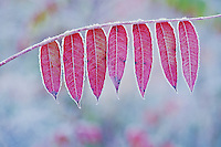 Staghorn sumac (Rhus typhina), leaves in fall frost rimmed,