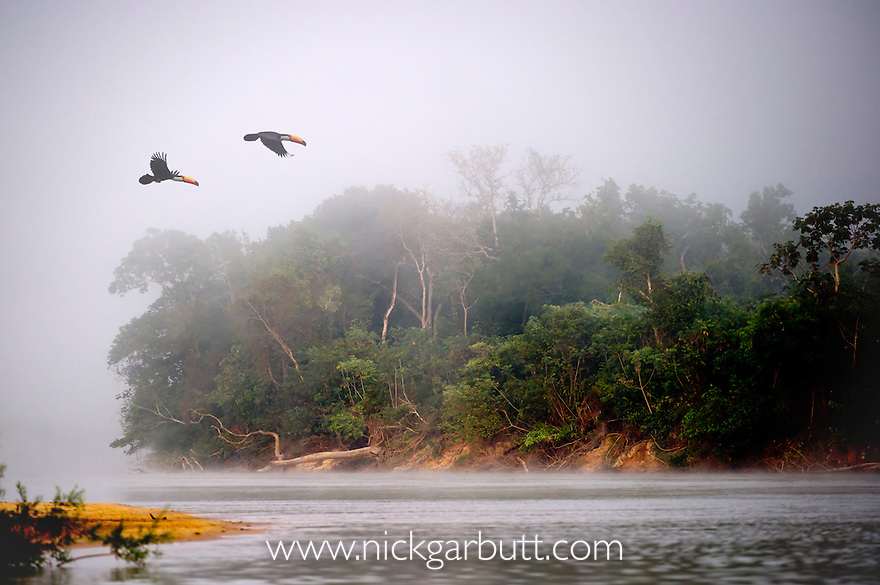 A pair of Toco Toucans (Ramphastos toco) (Family Ramphastidae) flying across the Piquiri River at dawn, northern Pantanal, Mato Grosso, Brazil.