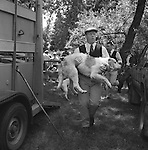 The Valley Minkhounds..Whipper-in, Michael Riching, carries a hound back to the wagon in the traditional manner. Near Aldermaston, Berkshire..Hunting with Hounds / Mansion Editions (isbn 0-9542233-1-4) copyright Homer Sykes. +44 (0) 20-8542-7083. &lt; www.mansioneditions.com &gt;..