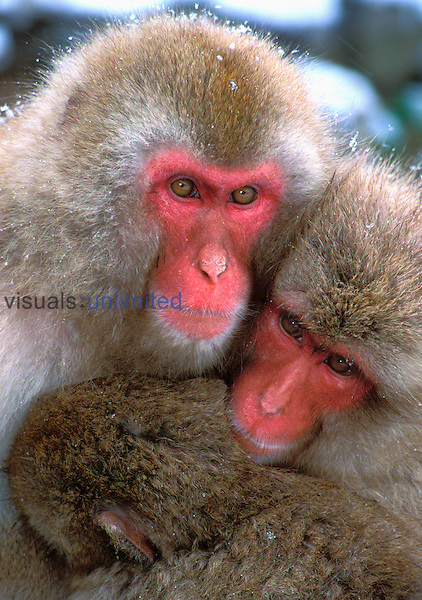 Japanese Macaque or Snow Monkeys (Macaca fuscata), Jigokudani Reserve, Japanese Alps Hot Springs, Japan.