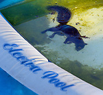 An unfortunate squirrel ends his life in a backyard pool though probably wasn't electrified from the &quot;Electra Pool.&quot;
