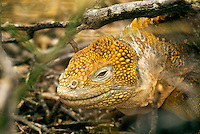 "Because fresh water is scarce in the Galápagos Islands, land iguana obtain the majority of their moisture from the prickly-pear cactus that accounts for 80% of its diet. Charles Darwin called them ""ugly animals, of a yellowish orange beneath, and of a brownish-red colour above: from their low facial angle they have a singularly stupid appearance."""