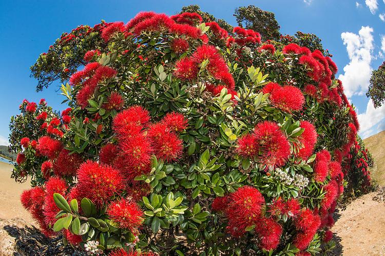 Pohutukawa tree in full bloom, Tutukaka Coast, New Zealand - stock photo, canvas, fine art print