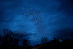 The famous black birds of Kosovo in flight over Mitrovica...Mitrovica, Kosovo - One-year anniverary of Independence - February 17, 2009.