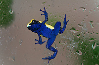 "The Yellow and Blue ""Citronella"" Poison Dart Frog (Dendrobates tinctorius ""Citronella""), climbing on window glass, captive"