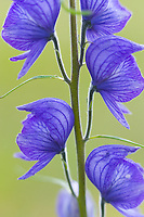 Monkshood, wildflower, Denali National Park, Alaska